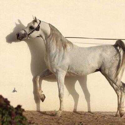 بيع وشرا الخيل Alkil 1 Twitter