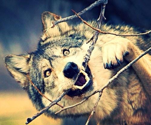 Картинки прикольные волков