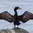 Volga Cormorants