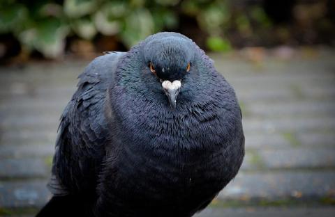 angry pigeon - photo #4