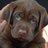Godiva Labradors
