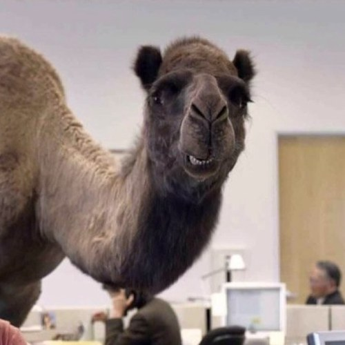 Hump Day Camel Woo Woo Hump Day Camel
