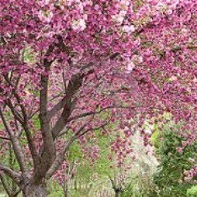 cherry trees b b shere cherry trees b b cherrytbandb