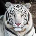 White Tiger (@11WhiteTiger11) Twitter