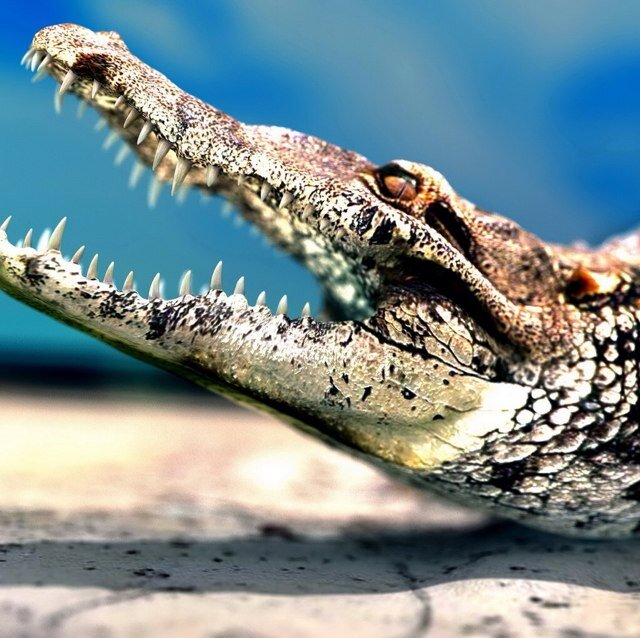 smotret-krokodili
