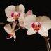 Orquídea Susurrante