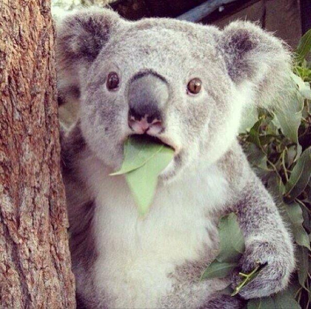 Shocked Koala Bear beanbear95  Twitter