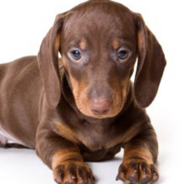 Weiner Dog Wiener dog lover
