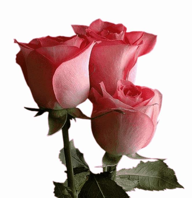Лет, супер гифы розовые розы