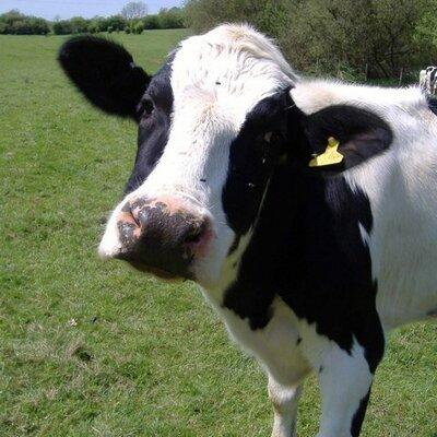 cow fuck