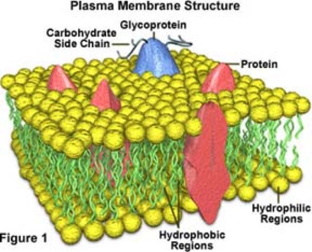 organelle and plasma membrane As you learn more about cell organelles, you will find that they all have a membrane organelle membranes do not.