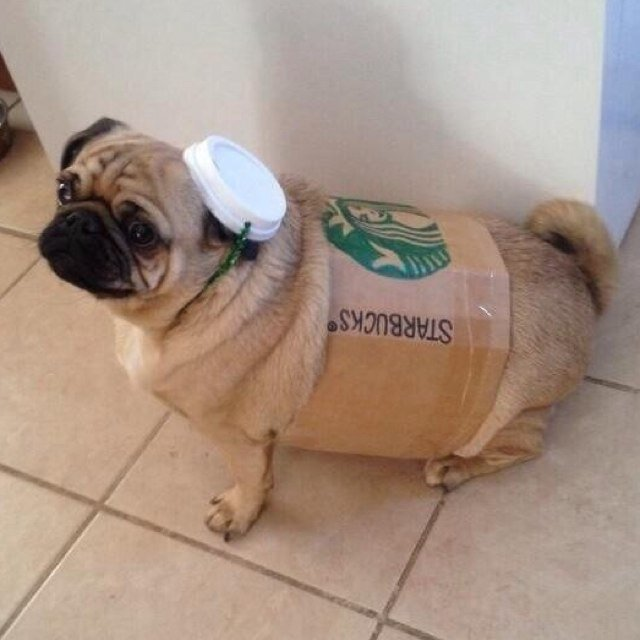 Pug Dress Pugs Dressed up