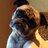 Charlieee the Pug