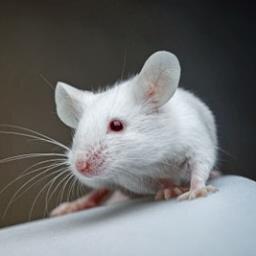 little white mouse thinkingmouse twitter