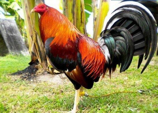 Ayam Filipina Mura (@AyamTj)