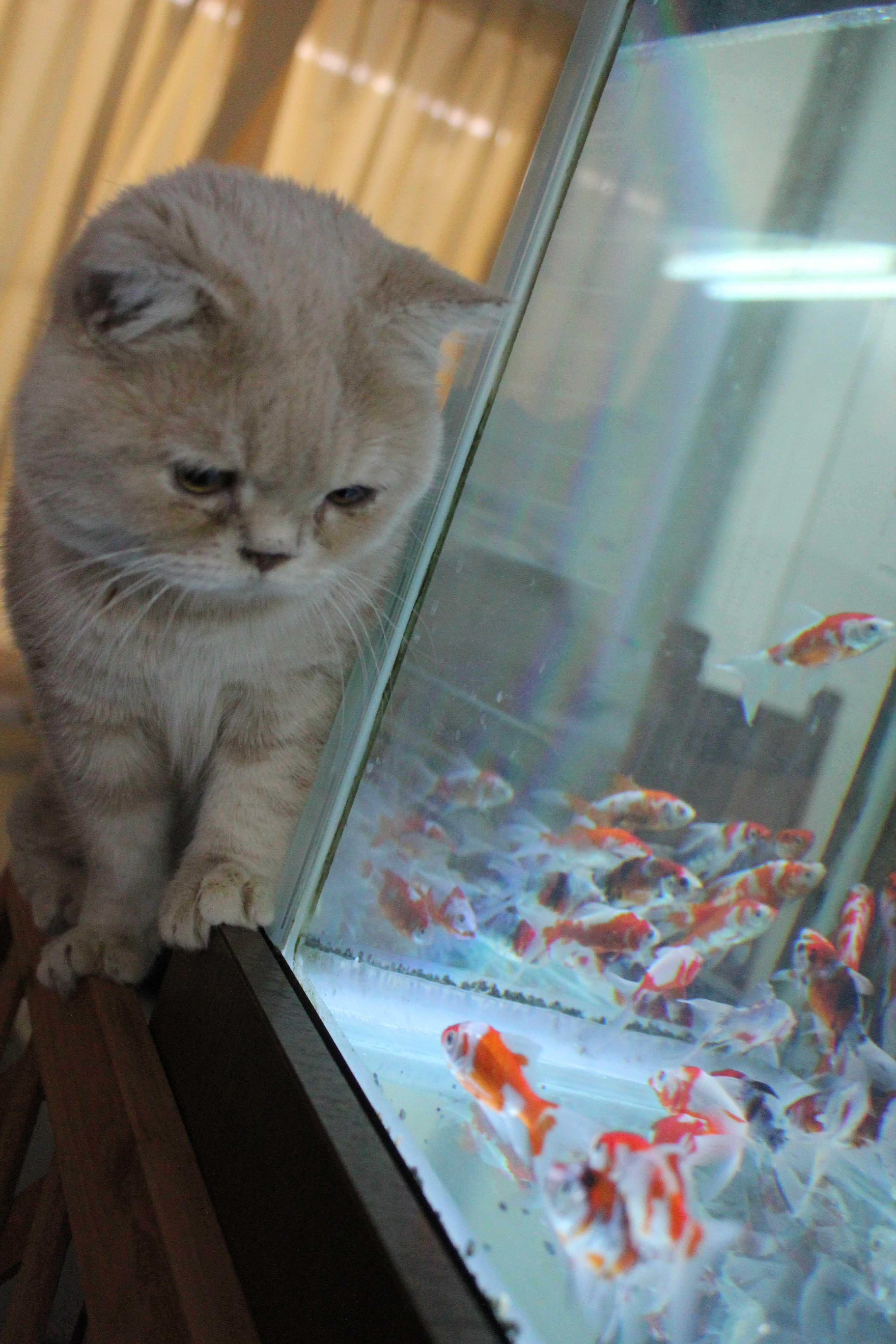 保護猫\u0026金魚カフェ マンチカン