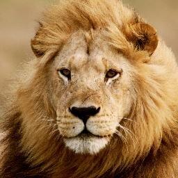 Cambodia lion midget