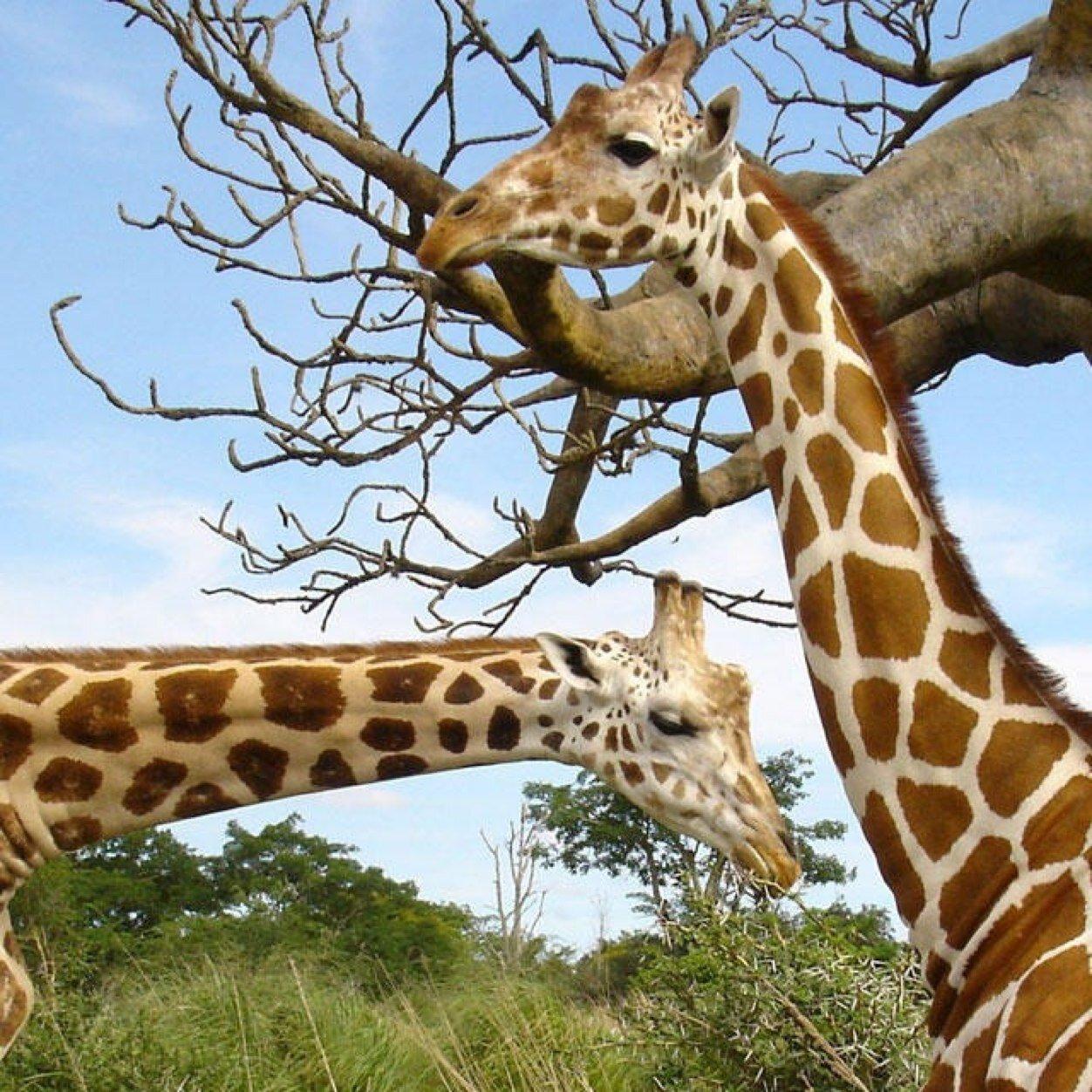 Школьница, жираф в прикольных картинках