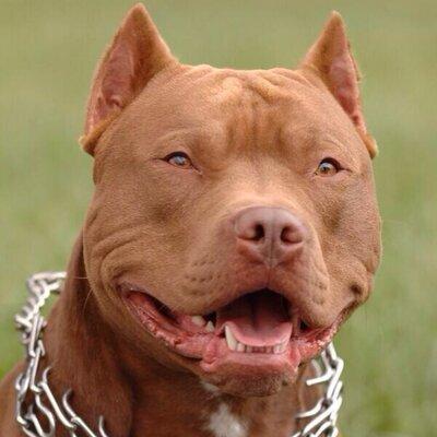 pretty pitbulls pitbull pics twitter