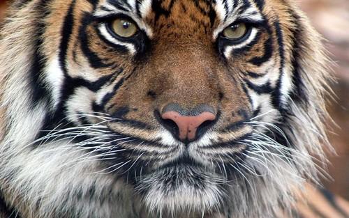 bengali tiger