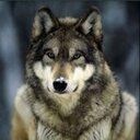 wolf1234 (@059Wolf) Twitter