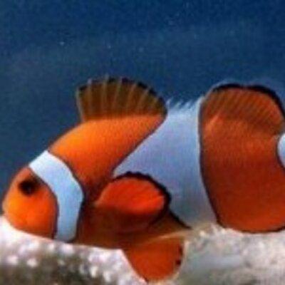 Unduh 710 Gambar Ikan Badut HD Terbaru