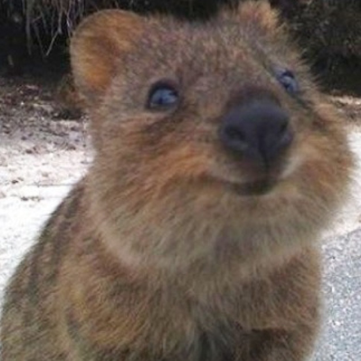 quokka smiling - photo #5