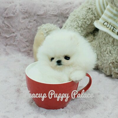 Teacup Puppy Palace on Twitter: