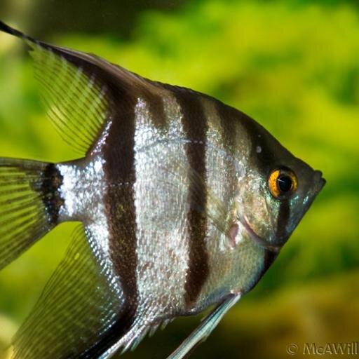 Best Food For Angelfish Fry