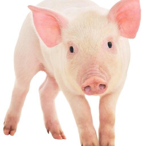 Pig Facts Factsaboutpigs Twitter