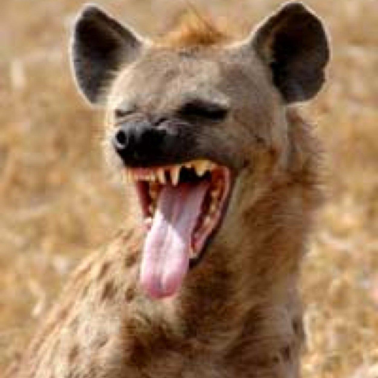Hyena Facts (@HyenaFacts) | Twitter