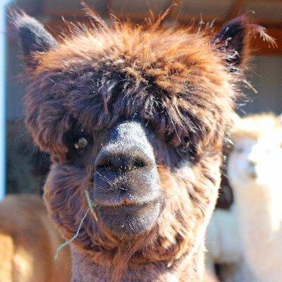 Fox Wire Farm   Fox Wire Farm Alpaca Fwfalpacas Twitter