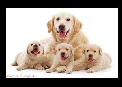 41+ Harga anjing ras golden retriever terupdate