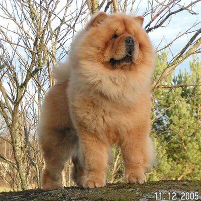 bear like dog