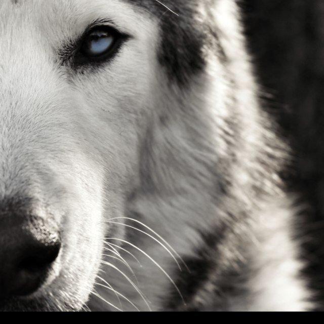@Lokithewolfdog