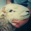 Herdwick Shepherd