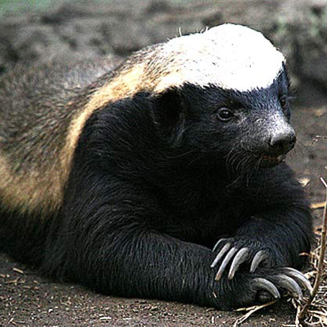 Honey badger francais