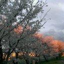 春は桜 (@05_cancer) Twitter