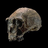 Homo ergaster skull on black background.