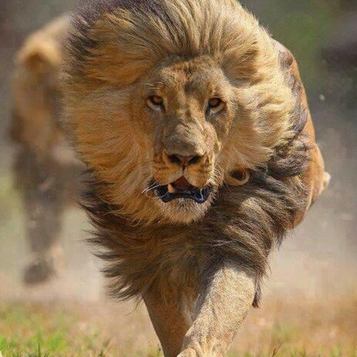 Exceptionnel fesse de lion (@picolo_alcoloo) | Twitter JH98