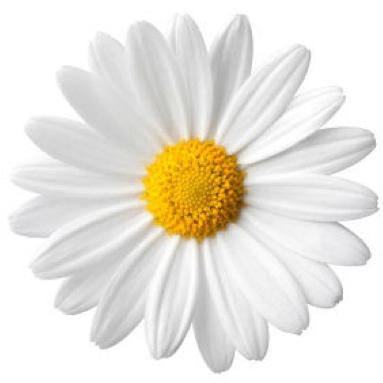 daisy flower flowerdaisy  twitter, Natural flower