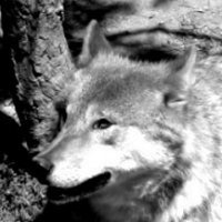 Wolf | Social Profile