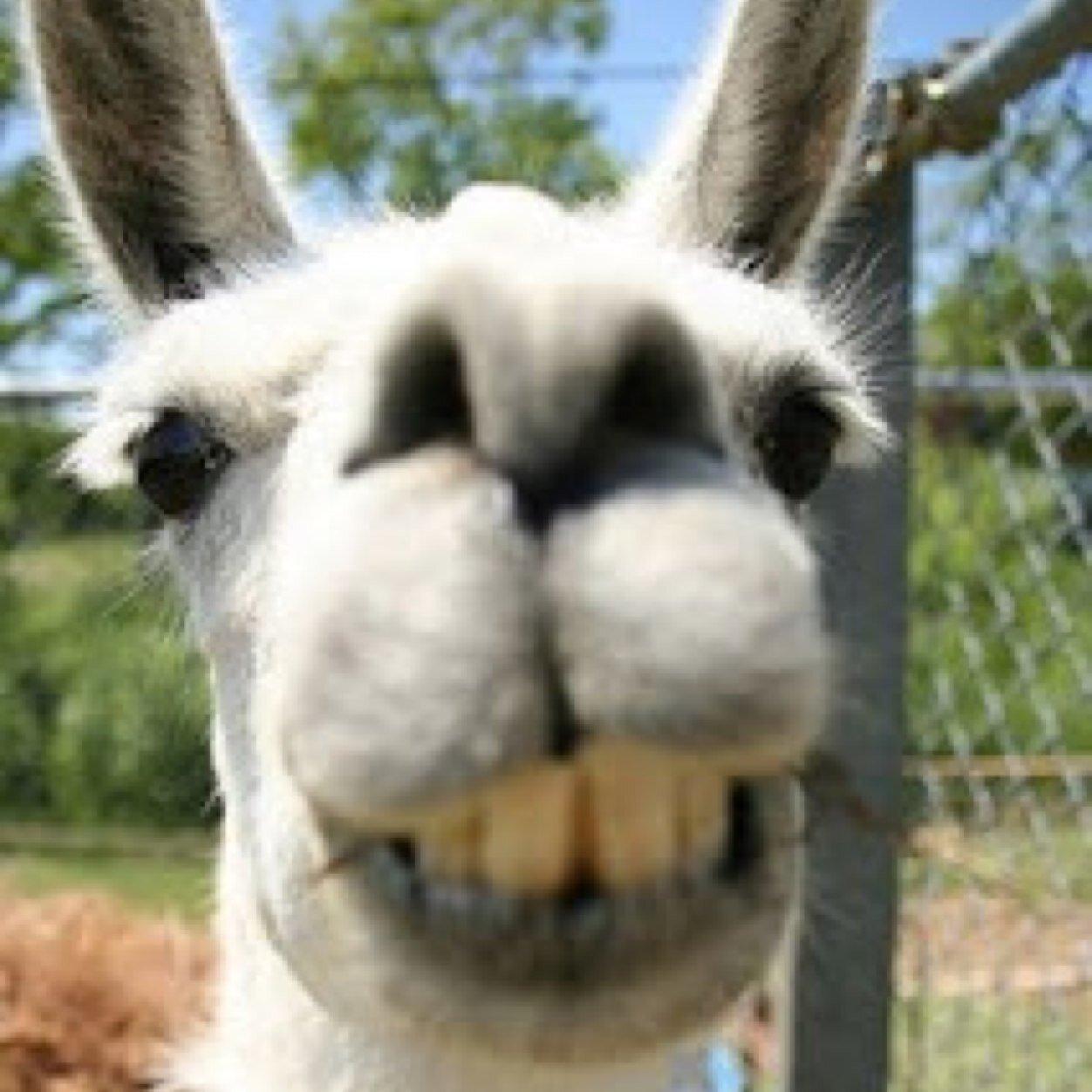 Drunk Llama At Gogollama Twitter