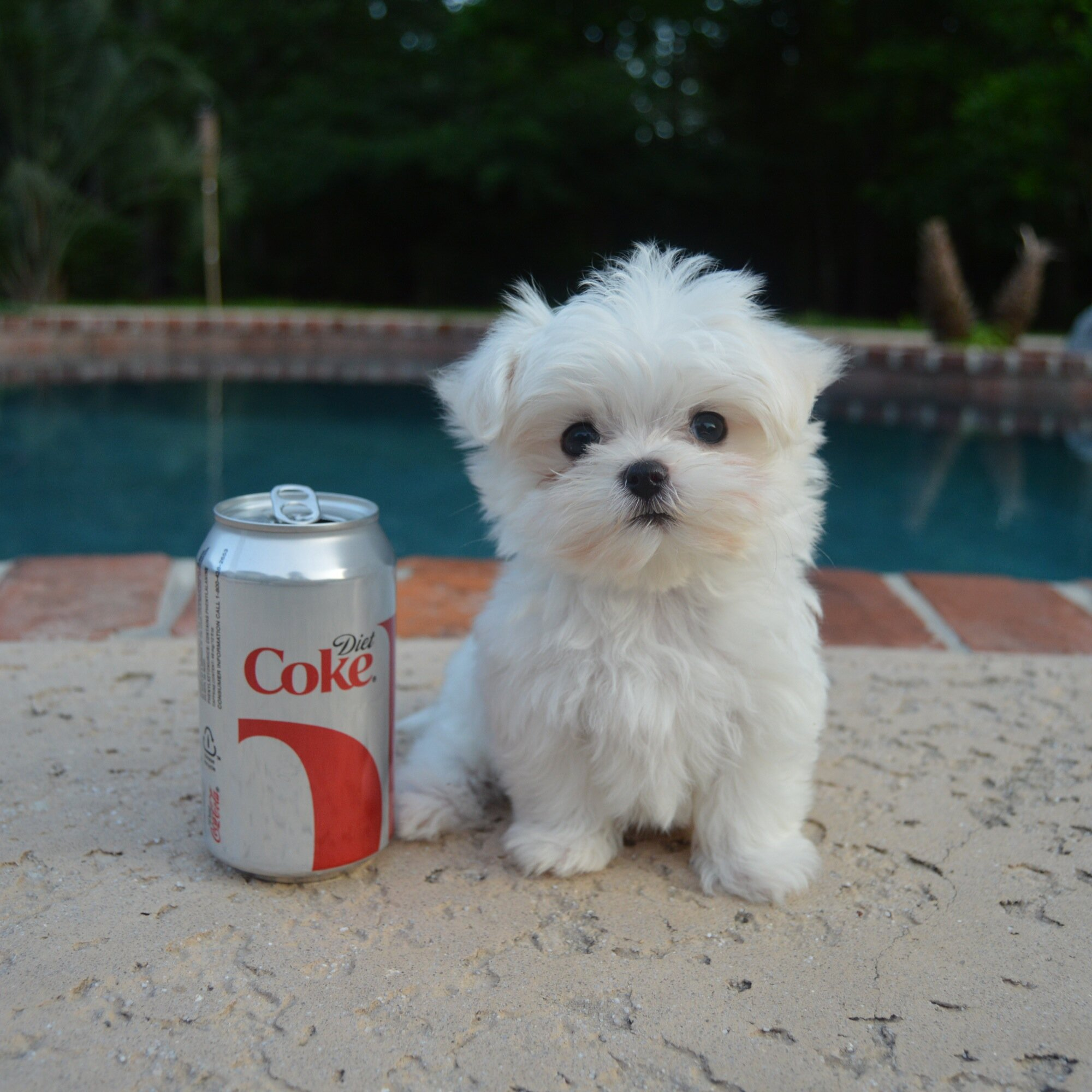 How Small Can A Maltease Dog Be