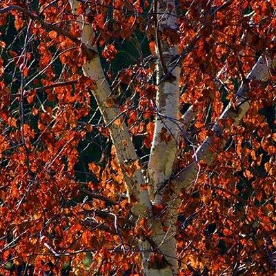 Red Birch on Muck Rack