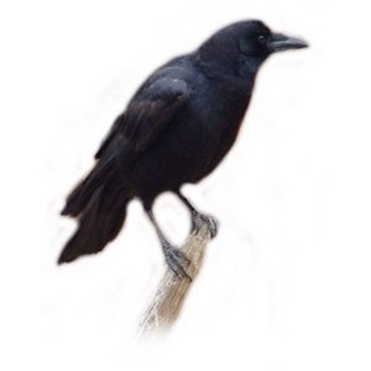 Hellocrows
