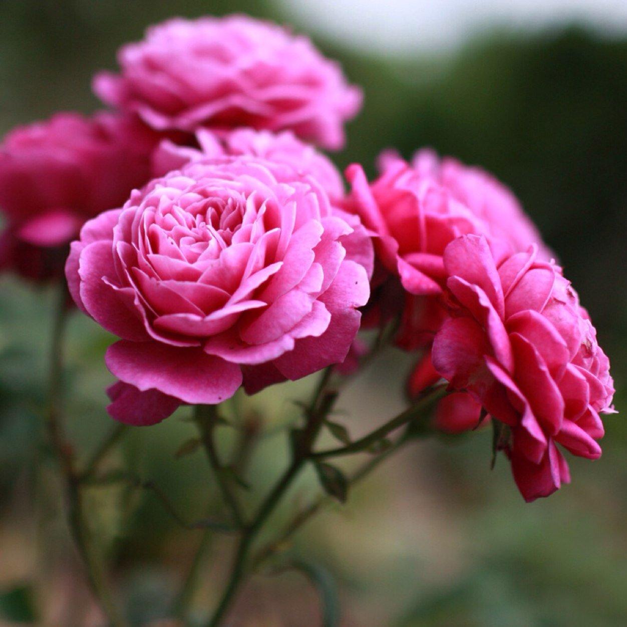 Что такое клумбовые розы, виды клумбовых роз