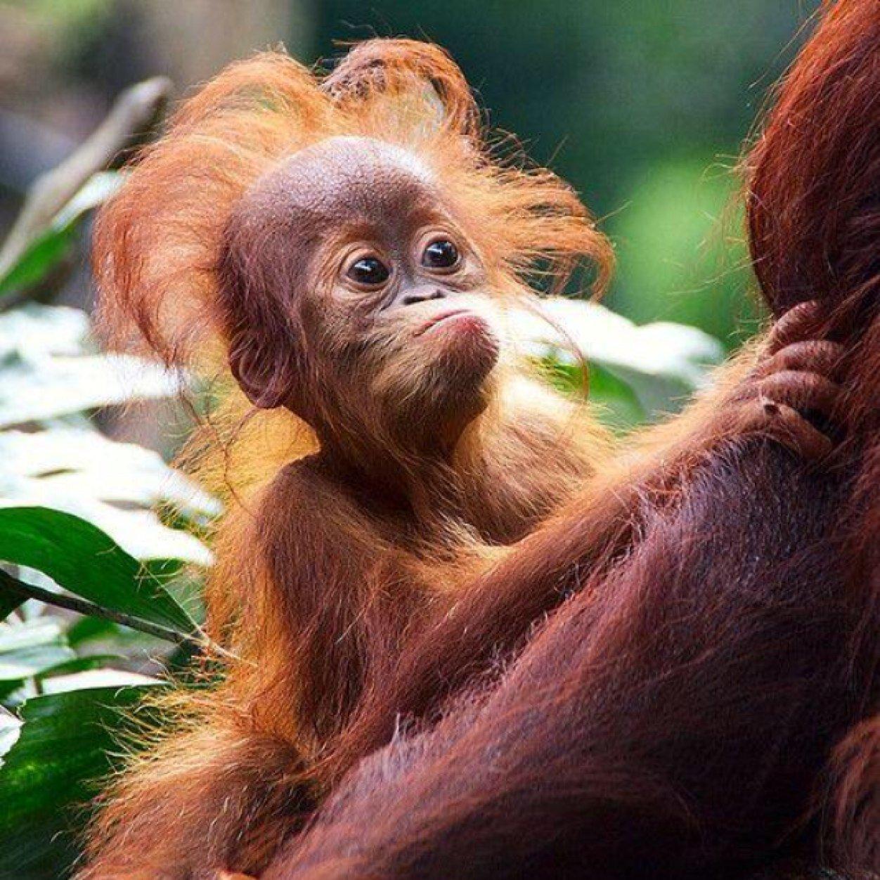 rad orangutan
