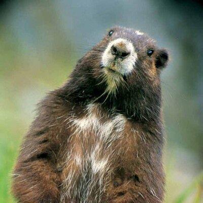 San Francisco Marmot (@SFMarmot) | Twitter