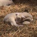 羊の使い、武藤 (@0tatsmi) Twitter